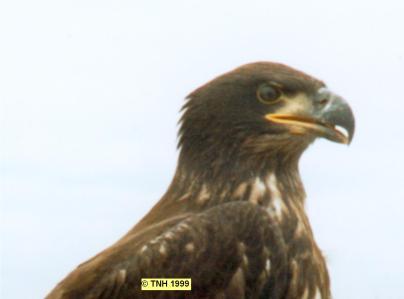 Bald Eagle Chick Head