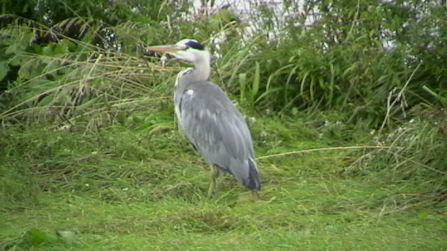 Heron at Spey Bay Reserve - 18th Sept 2007
